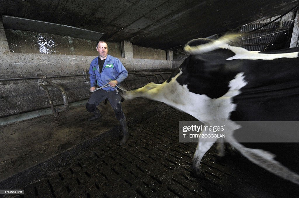 French milk producer Bruno Gourdon manipulates the rear foot of a cow for a replacement of vertebrae, on June 11, 2013 at his farm in Laqueuille, centre France. In his farm in the regional park of the Auvergne volcanoes, Gourdon breeds 30 dairy cows on 50 acres of pasture. He went to homeopathy a year ago and himself crafts 254 remedies. AFP PHOTO THIERRY ZOCCOLAN