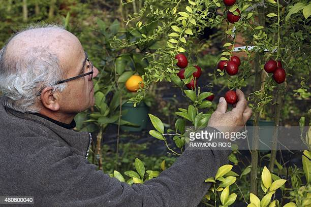 French nurseryman Michel Baches looks at Australian Finger Lime also know as 'lime caviar' on December 23 2014 in Eus southwestern France AFP PHOTO /...