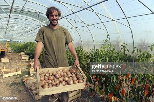 French organic farmer Gwenole Le Roy carries a crate of organic onions in his green house on his farm on September 9 2014 in Plouescat western of...