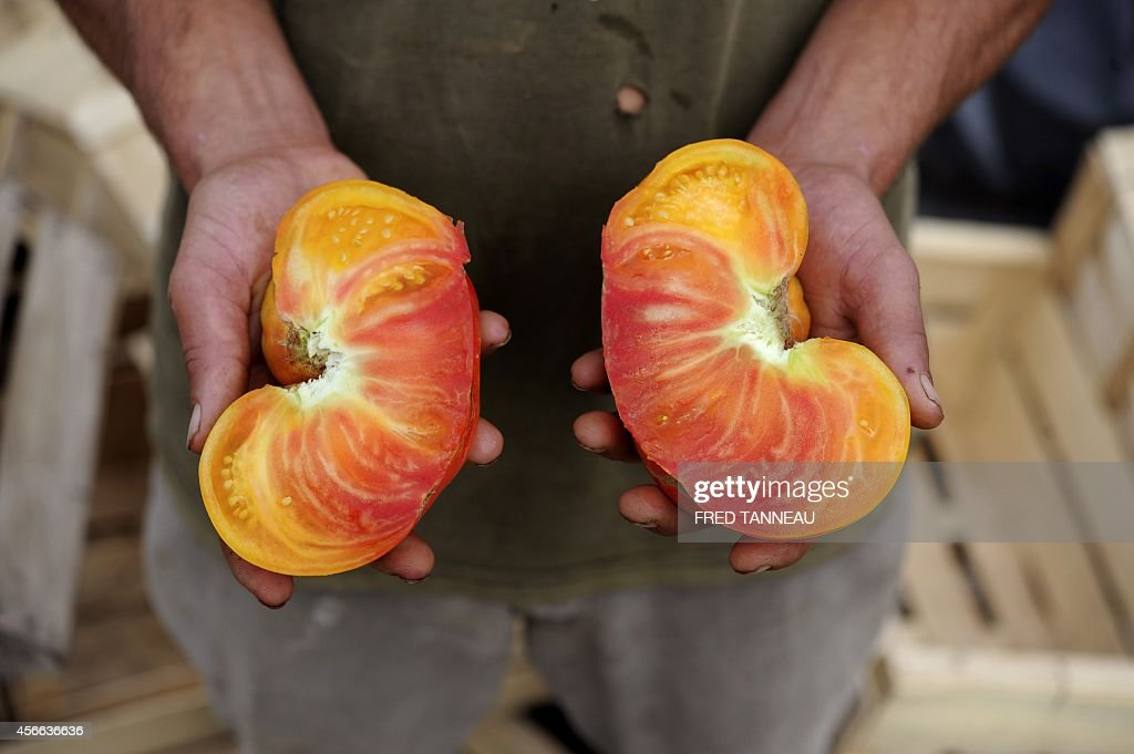 French organic farmer Gwenole Le Roy holds two pieces of a cut home grown organic pineapple tomato on September 9 2014 on his his farm in Plouescat...