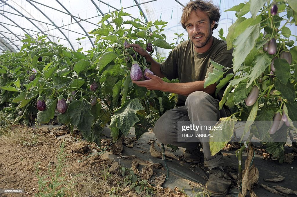 French organic farmer Gwenole Le Roy poses with zebrina aubergines in his green house on September 9 2014 in Plouescat western of France AFP PHOTO /...