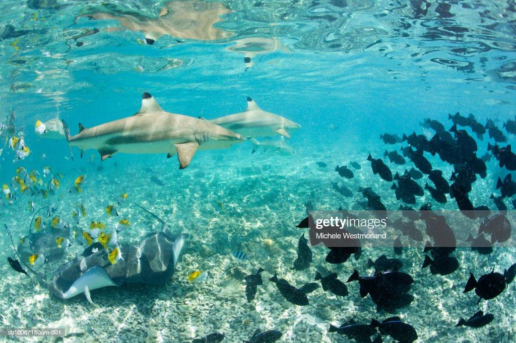 French Polynesia, Bora Bora, School of colorful tropical fishes underwater