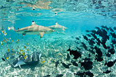 French Polynesia, Bora Bora, School of colorful tropical fishes underwater