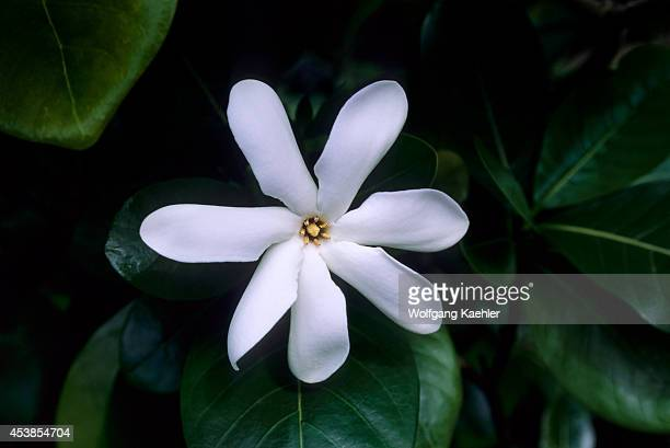 French Polynesia Society Islands Huahine Tiare Flower