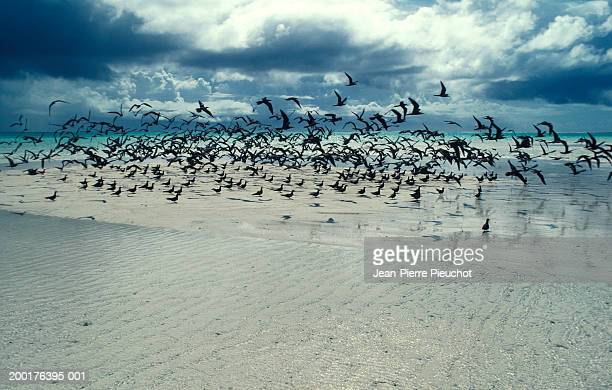 French Polynesia, Tetiaroa atoll, sea birds on shore