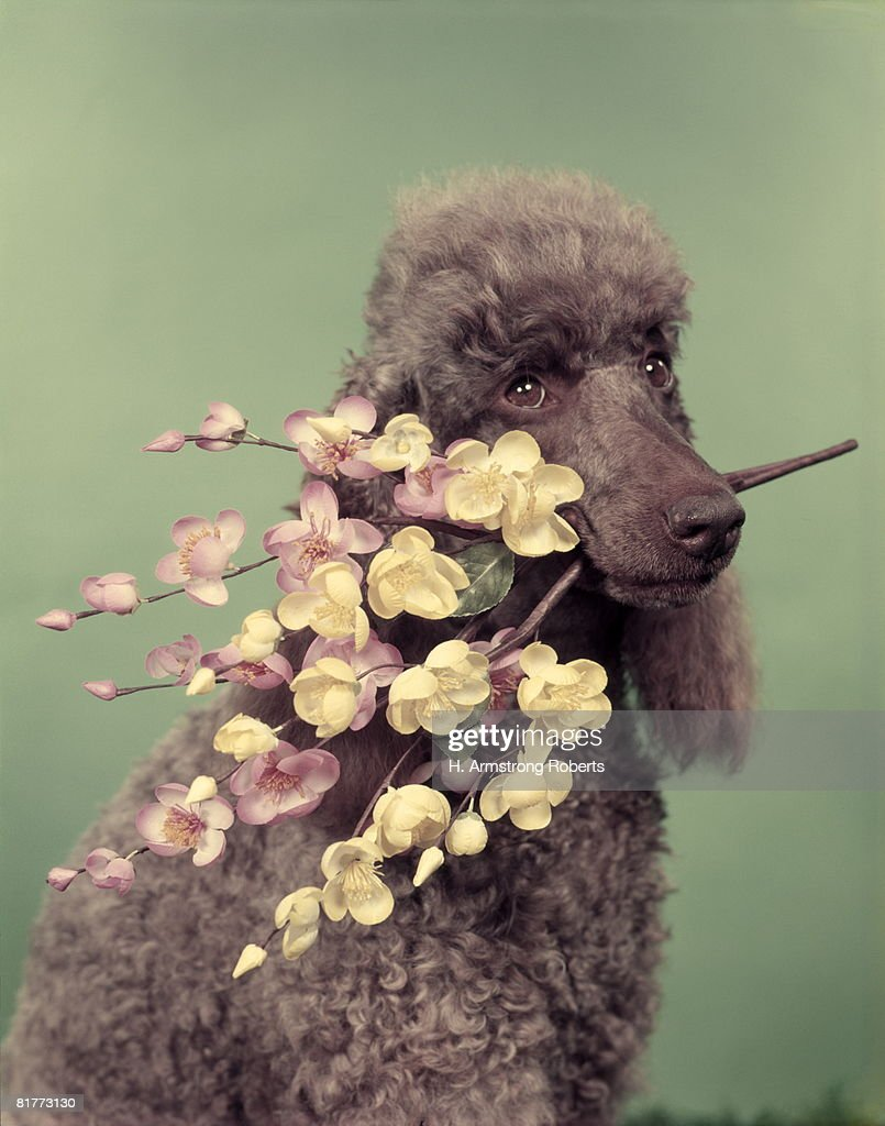 French Poodle Holding Flowers In Mouth. : Stock Photo