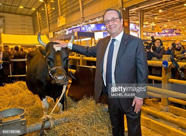 TOPSHOT French President Francois Hollande touches a cow during his visit of the International Agriculture Fair at the Porte de Versailles exhibition...