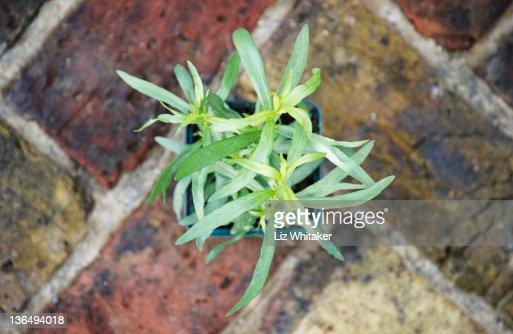 French tarragon (Artemisia dracunculus), overhead