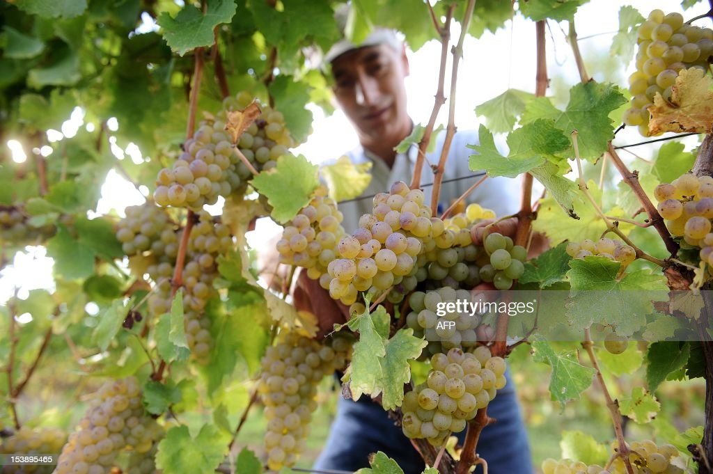BEAUJOUIN - French wine producer Claude Guitard cuts white grapes during harvest in his vineyards at the Chateau Nozieres in Vire-sur-Lot, in the French southwestern wine producing region of Cahors, on October 10, 2012. Claude Guitard will produce a Cahors white wine after harvest, although Cahors wines are usually red wines from grapes grown in or around the town of Cahors.