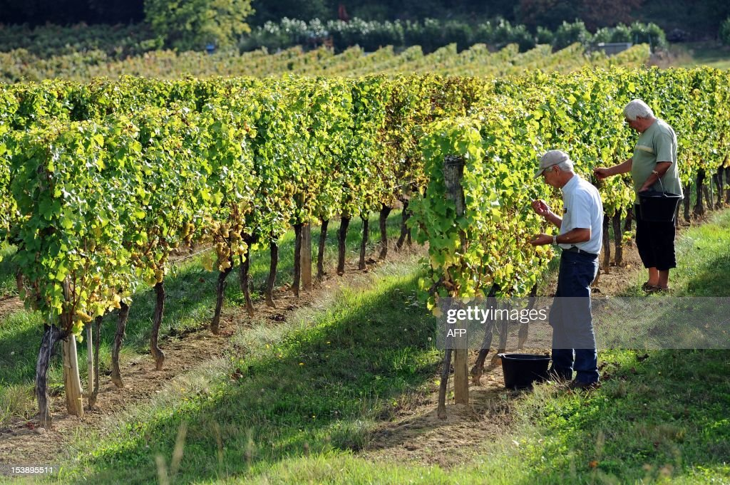 French wine producer Claude Guitard (L) cuts white grapes during harvest in his vineyards at the Chateau Nozieres in Vire-sur-Lot, in the French southwestern wine producing region of Cahors, on October 10, 2012. Claude Guitard will produce a Cahors white wine after harvest, although Cahors wines are usually red wines from grapes grown in or around the town of Cahors.
