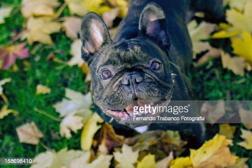 Frenchie : Stock Photo