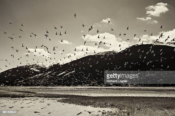 Frenzy of birds on tidal plane with mountains