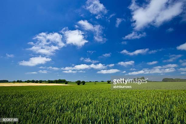 Fresh air. Blue skies over green wheat field