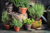 Fresh and green herbs in rustic garden