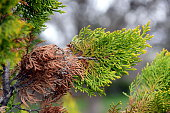 Photo of arborvitae leaves in the spring. Fresh leaves are green and old leaves are brown.