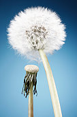 Fresh and wilted dandelion