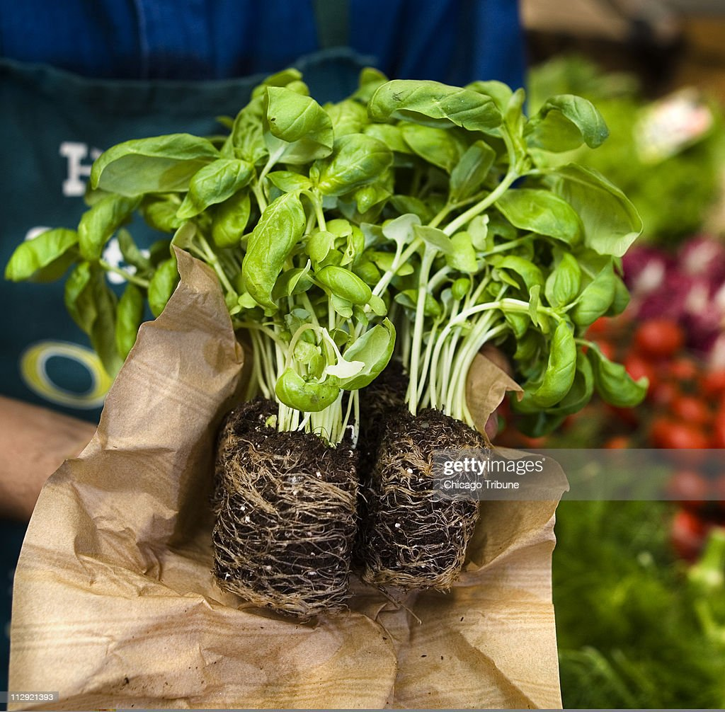 Fresh basil is displayed at H S Fruita and Verdura in the Mercato Orientale in Genova Italy April 20 2007