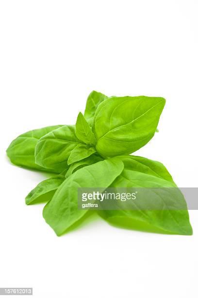 Basilic frais