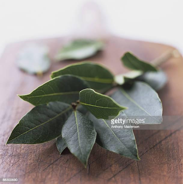 Fresh bay leaves on branch