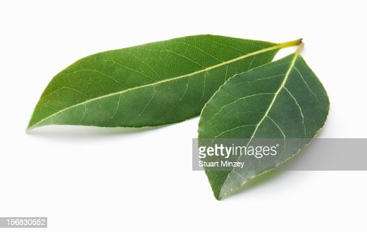 Fresh bay leaves on white background