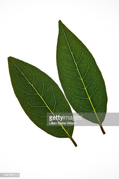 Fresh Bay Leaves on White