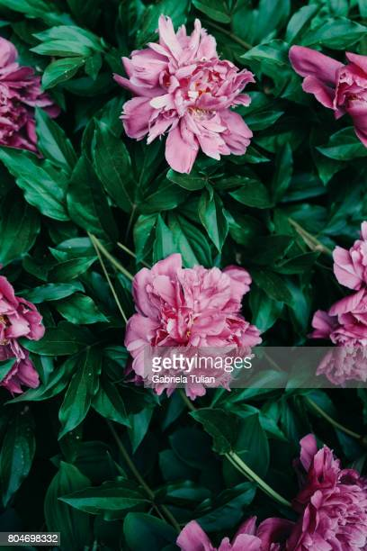 Fresh beautiful blooming pink peony flower in the garden