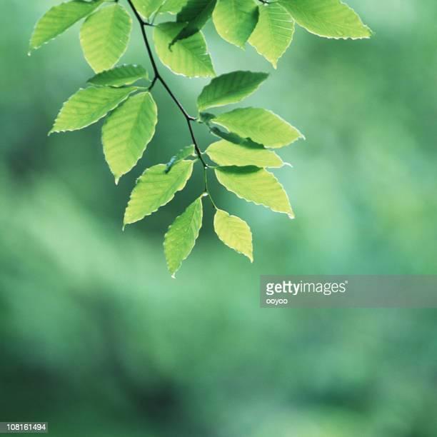 Fresh beech leaves