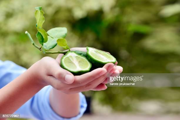Fresh Bergamot close up on boy hands. Green fruit , Thailand herb .
