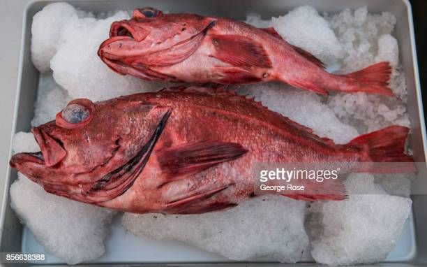 Fresh black fin rockfish is sold at the downtown harbor market on September 1 in Santa Barbara California Because of its close proximity to Southern...