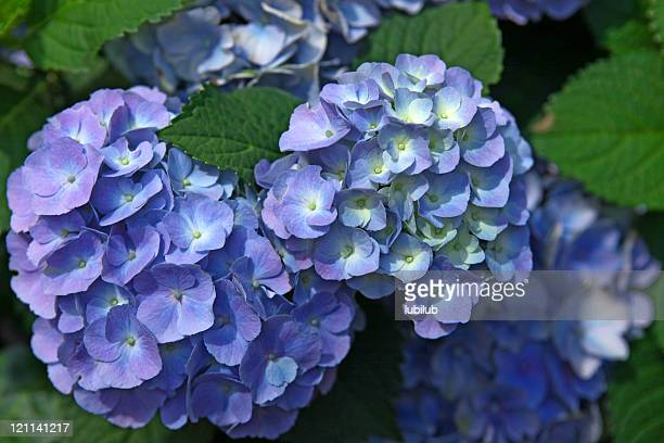 Fresh blue and purple Hydrangea flowers with green leaves close-up