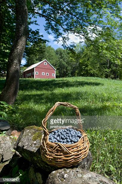 Fresh Blueberries in Basket with red barn in background