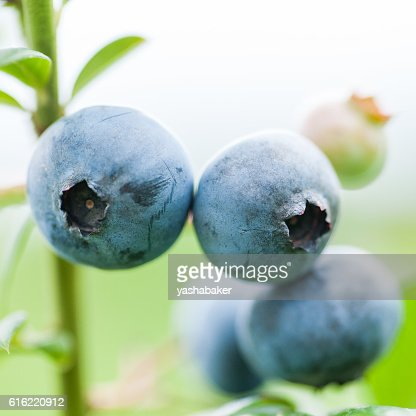 Fresh blueberries in nature outdoors : Photo