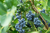 Fresh blueberrys on the branch on a blueberry field farm