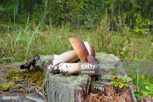 Fresh Boletus edulis in a forest. : Stock Photo