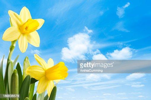 Fresh bright yellow spring daffodils against a blue sky