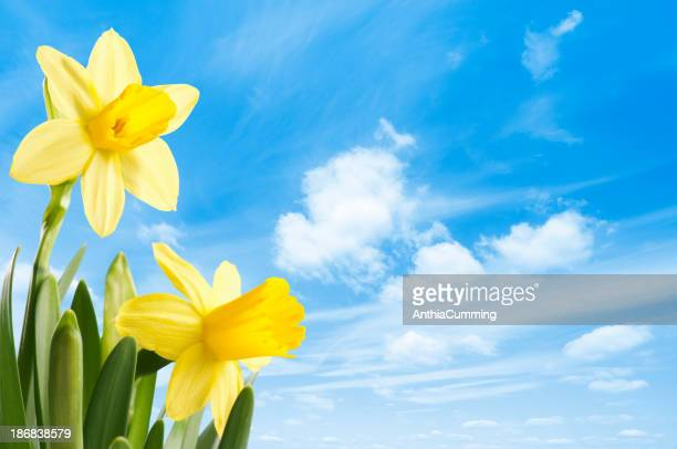 Fresh bright yellow spring daffodils against a blue sky