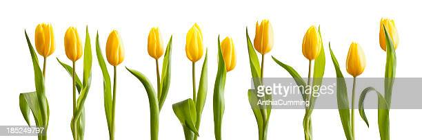 Fresh bright yellow spring tulips on white background