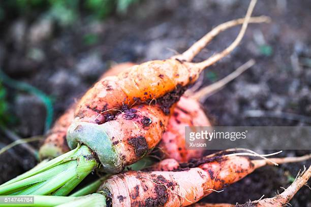 fresh carrots from mud in the field