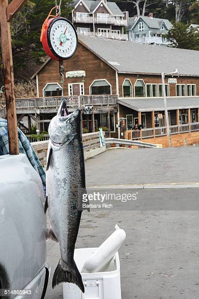 Fresh caught Pacific Salmon weighs in at 62 pounds