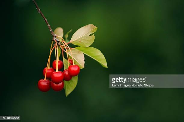 Fresh Cherries On Tree, Croatia, Slavonia, Europe