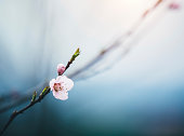 Blossoming cherry branch in beautiful colors.