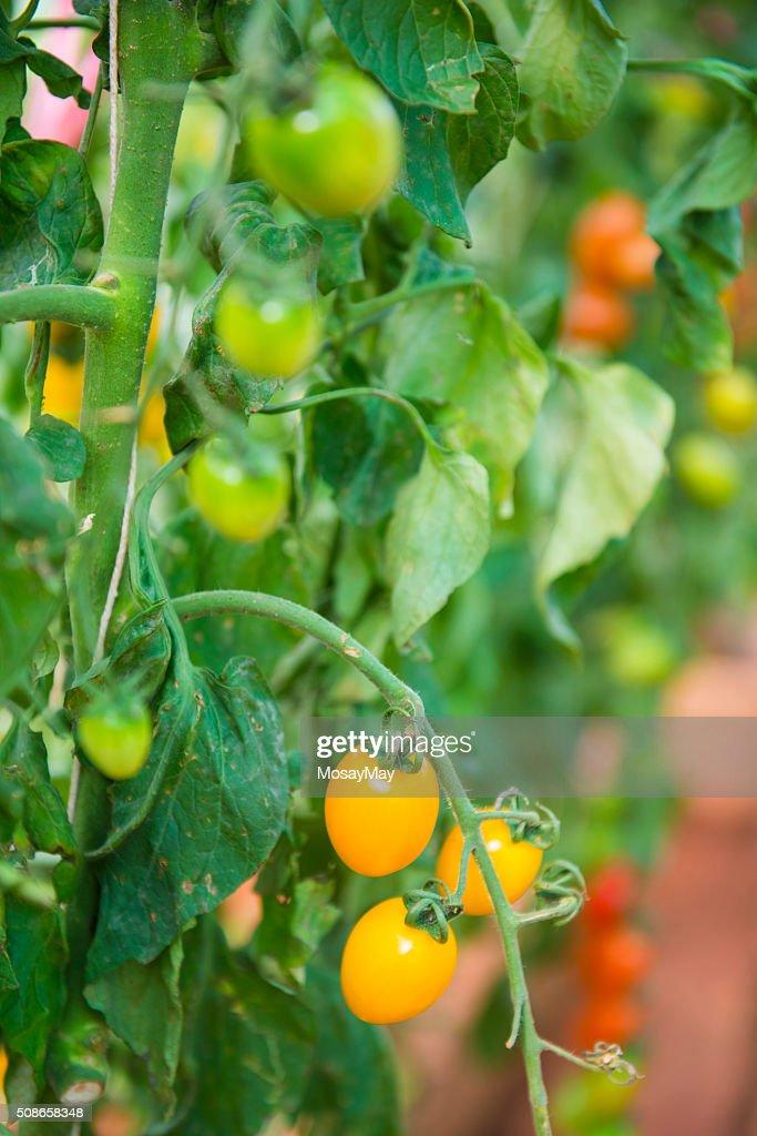 fresh cherry tomatoes on branch : Stock Photo
