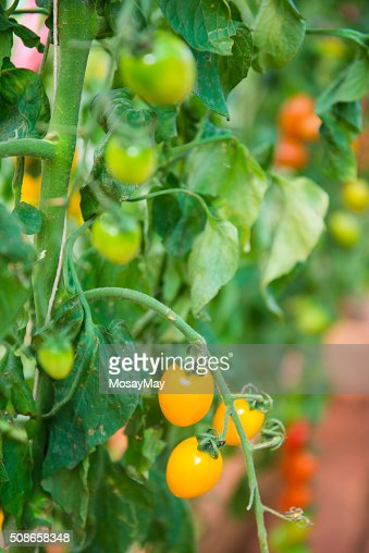 fresh cherry tomatoes on branch : Stock Photo
