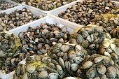 Fresh clams on crates for sale in the market of Santiago de Compostela, Spain. Venerupis pullastra