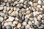 Shell texture. Ruditapes philippinarum. Bivalve mollusc of Galicia Spain