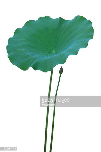 Fresh, Close-Up, Lily Pad, White Background, Lotus