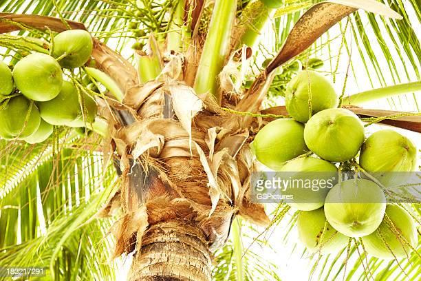 Recién coconuts colgar en palm tree