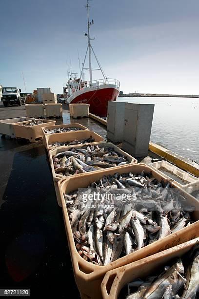 Fresh cod in bu