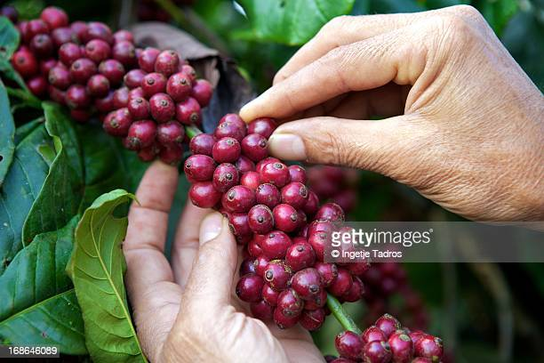 Fresh coffee beans ready to be picked