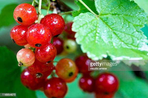 Fresh currant. Color Image